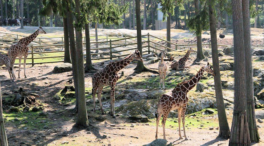 140726_linbana_giraff